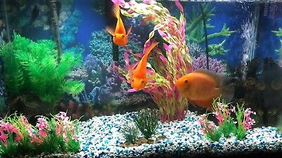 THREE CICHLIDS FOR Sale - Need A New Home