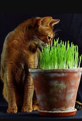 250g  Barley Grass seeds for Cats and other Pets