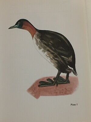 The Little Grebe Bird Print  JAN SOLOVJEV Original Vintage Picture P1