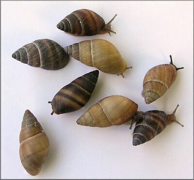 Lot of 12 WHITE Bulimulus Land Snails~Healthy