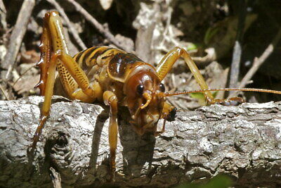 Weta Hemideina crassidens live cricket pet bug