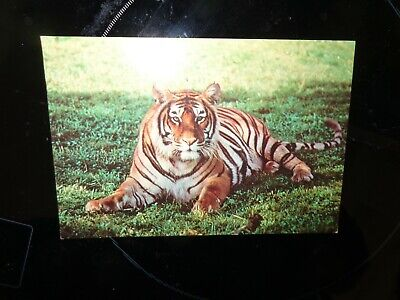 postcard of  TIGER  WEST MIDLAND SAFARI PARK ZOO 1981 BB