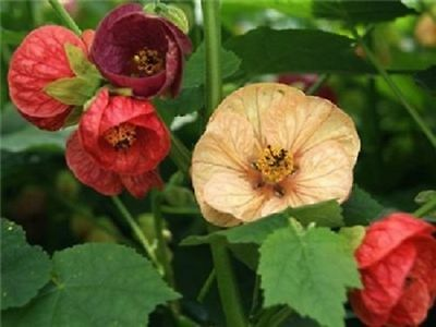 15+ Bellevue Mix Abutilon Flowering Maple Flower Seeds / Perennial