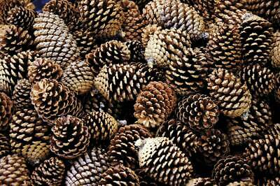 JOBLOT OF Natural  Pinecones x30 Floral/Craft Good Quality (Large -Size)