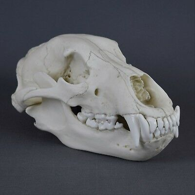 GRIZZLY BEAR SKULL Replica (Real Size) - $140 00   PicClick