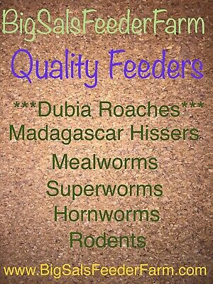 100 Medium Dubia Roaches CUPPED