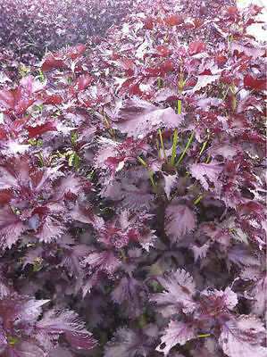 Vegetable Perilla Red Shiso Japanese Basil Appx 100 seeds Oriental