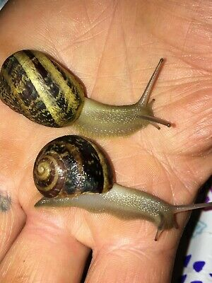 (1) Live Large Striped Land Snails! + BONUS!~Fun/Friendly/Educational/Pets