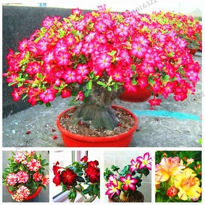 5PCS REAL RARE Desert Rose Flower Adenium obesum Multiflorum bonsai