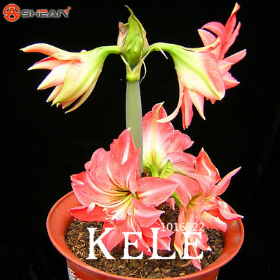 Barbados lily potted seed 25pcs Bonsai flower.#171 Amaryllis seeds