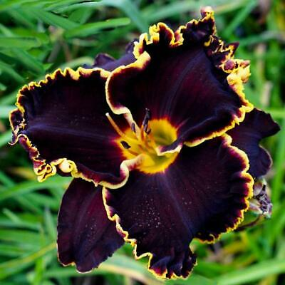 Daylily Roots Perennial Living Health Plants Home Garden Flowers Yard Reblooming