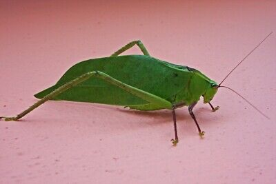 Giant Florida katydid Stilpnochlora couloniana live pet bug
