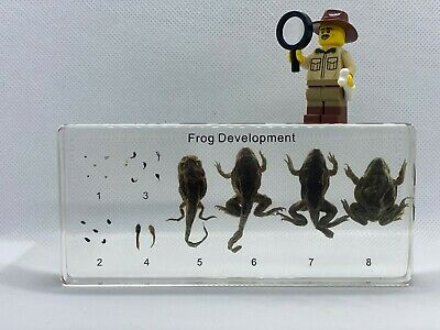 Life Cycle of a Frog - Biological Development - Specimen Display - Taxidermy