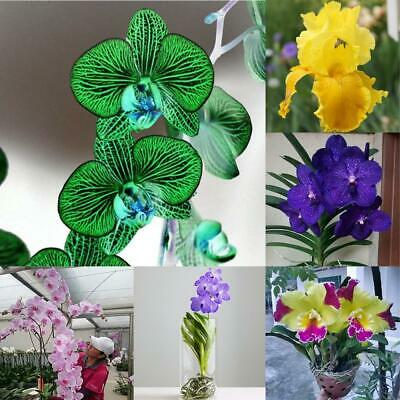 50 Pcs Multi-Color Phalaenopsis Seeds Bonsai Flowering Plants Seeds ZHI4