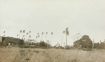 Vintage Photograph Of Palm Trees In A Field On Oahu Hawaii