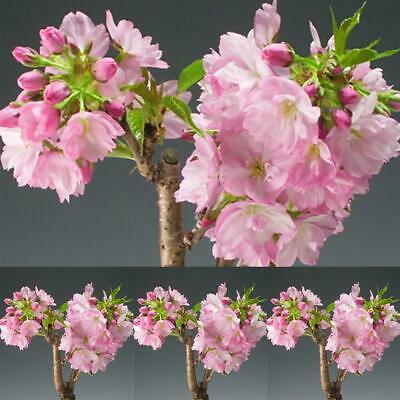 15 Bonsai Japanese Tree Sakura Seeds Cherry Blossom Pianta da interno UTAR