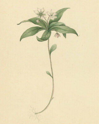 Pair of Early 19th Century Watercolours - Chickweed Wintergreen & Herb-Paris