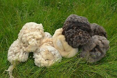 4  Charollais x Hebridean sheep fleeces - White