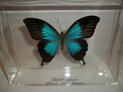 Real Blue Butterfly Papilio Ulysses From Papau, New Guinea  In Case.