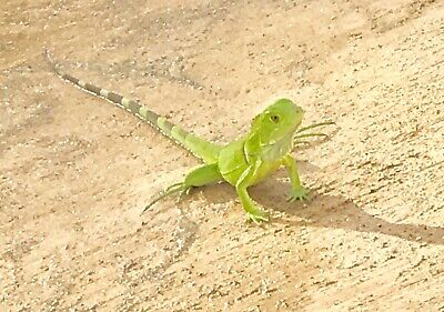 Digital Picture Image Photo Wallpaper JPG Desktop Screensaver Green Lizard