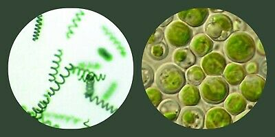 Aquaculture Phytoplankton Feed -For Filter Feeders / Daphnia  / Clams / Fish Fry