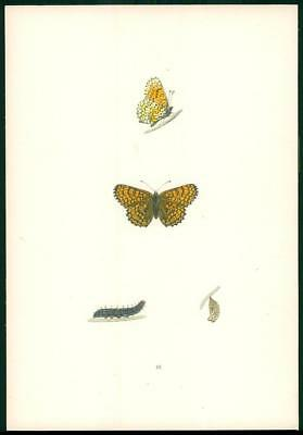 1908 Original Antique Hand Coloured Print GLANVILLE FRITILLARY Butterfly (046)