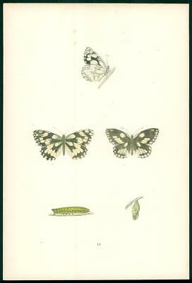 1908 Original Antique Hand Coloured Print MARBLED WHITE Butterfly  (014)