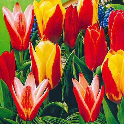 Pack of 25 Orange/Yellow/Red Tulip Bulbs 'Kaufmanniana Mixed' Spring Flowering