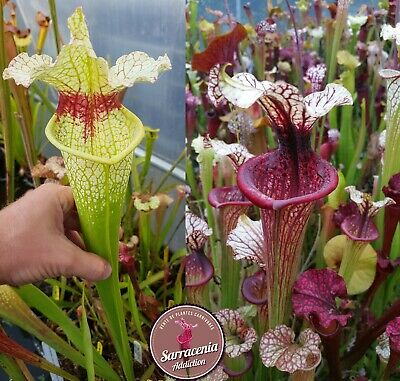 Sarracenia Seeds 2020 Carnivorous Plants 209