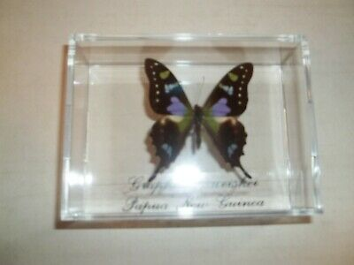 Real Purple Butterfly Graphium Weiskei. From Papau, New Guinea Mounted In Case.
