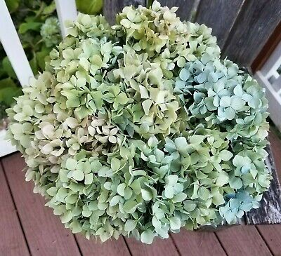 14 Dried Hydrangea Flowers mixed green cream lavender Bouquet Crafts Weddings