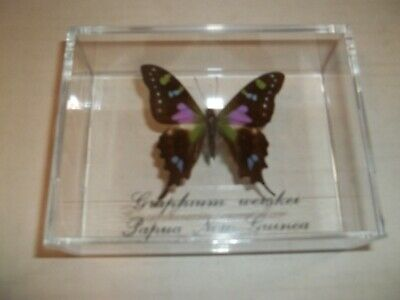 SALE Purple Butterfly Graphium Weiskei. From Papau, New Guinea Mounted In Case.