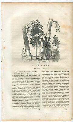 Antique Victorian Girls Children Affection Pet Exotic Cockatoo Bird Art Print