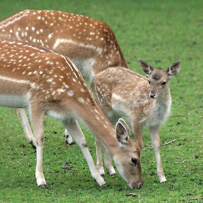 """/""""Dunham Fallow Deer stag pale form/"""" #PeterBrighousePhotography Card"""
