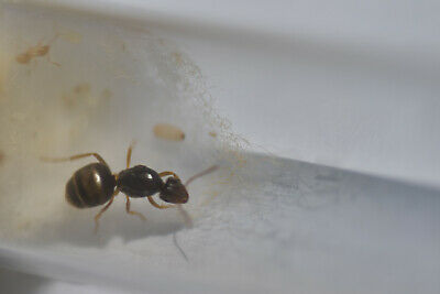 Live Queen ant Lasius flavus with eggs and brood 10-20 workers (starter kit)