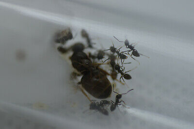 Live Queen ant Lasius niger with eggs and brood 10-20 workers (starter kit)