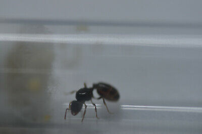 Live queen ant Tetramorium caespitum queen with eggs and brood and workers 5-10