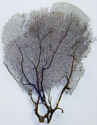 """Real Dried Black Sea Fan - Seafan Coral  11"""" X 17"""" (Pictured)"""