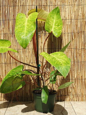 Very Rare Aroid Variegated Philodendron PAINTED LADY House Plant ROOTED CUTTING