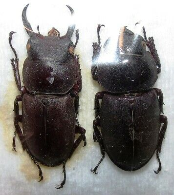 C02 LUCANIDAE PAIR Macrodorcus rectus FROM JAPAN with 26mm male