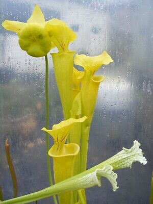 "Carnivorous Plant - Sarracenia flava ""goldie"". fairly large division."