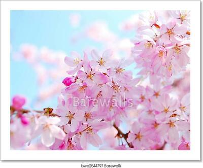 Cherry Blossoms                 Art Print Home Decor Wall Art Poster C