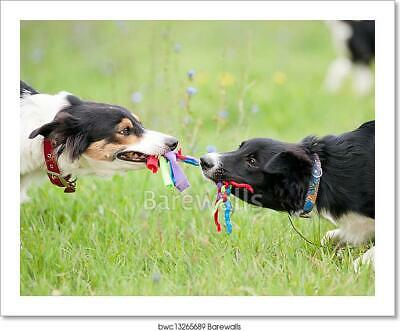 Two Dogs Playing With Rope Toy Art/Canvas Print. Poster, Wall Art, Home Decor