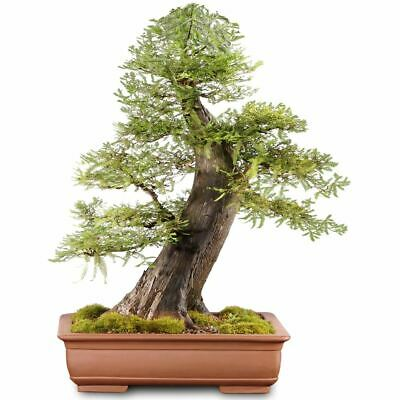 Bonsai Tree Bald Cypress 469 00 Picclick