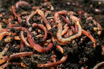 Composting Worms - Red Wrigglers & Mixed 500, 1000 Worms Postage - Home Grown