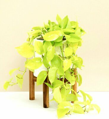 Golden Pothos Scindapsus Epipremnum  Scandens  NEON House Plant Cutting Pot