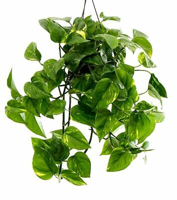 Epipremnum Pothos Scindapsus AUREUS Variegated Large House Plant Cutting Pot