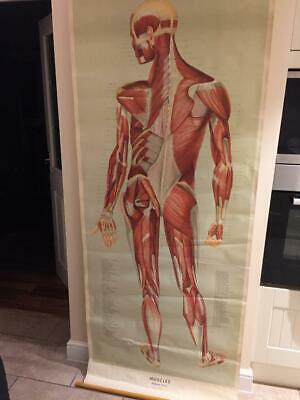 VINTAGE MEDICAL POSTER LATE 70's  ADAM, ROUILLY  & CO,MUSCLES (POSTERIOR ASPECT)
