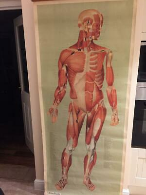 VINTAGE MEDICAL POSTER LATE 70's  ADAM, ROUILLY  & CO, MUSCLES (ANTERIOR ASPECT)