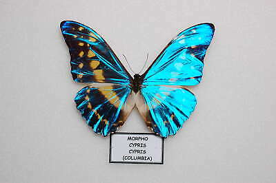 morpho cypris cypris =  from columbia   nice pale blue form
